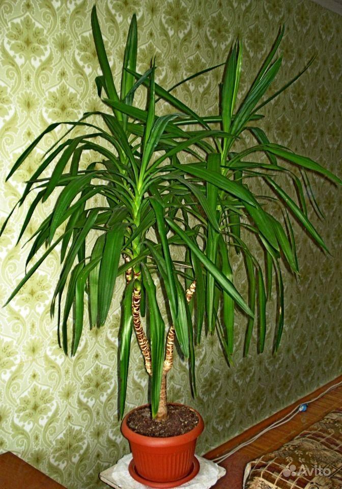 Разновидности пальм в домашних условиях фото 364
