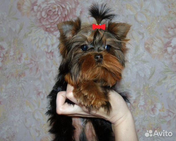 Йоркширский терьер 3 месяца щенок фото