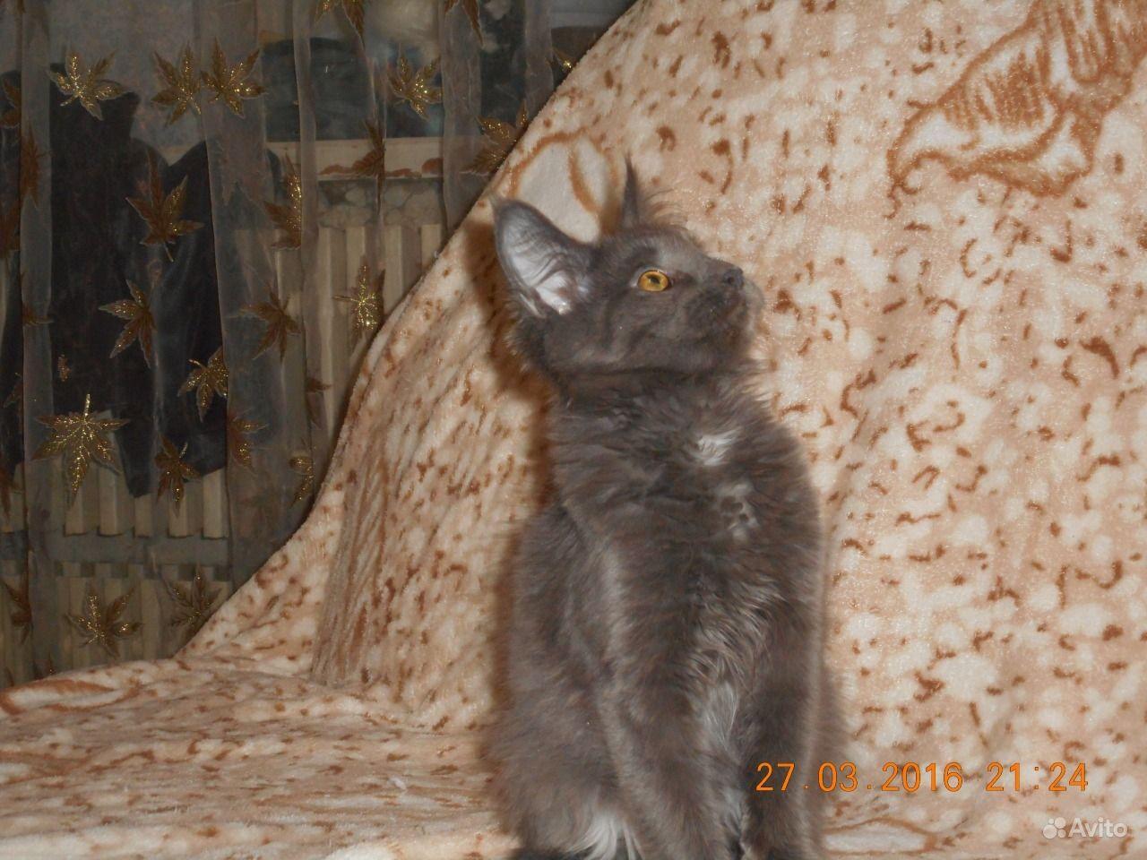 Котики на авито сыктывкар