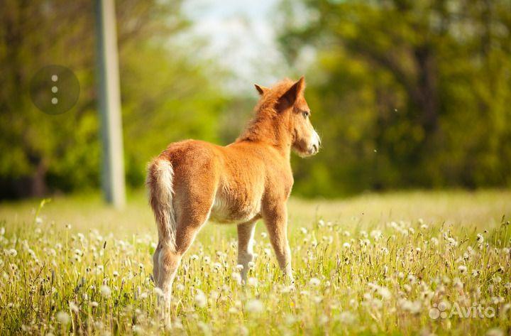 Пони воронной масти, возраст-1 год, цена-договорна в Чебоксарах - фотография № 1