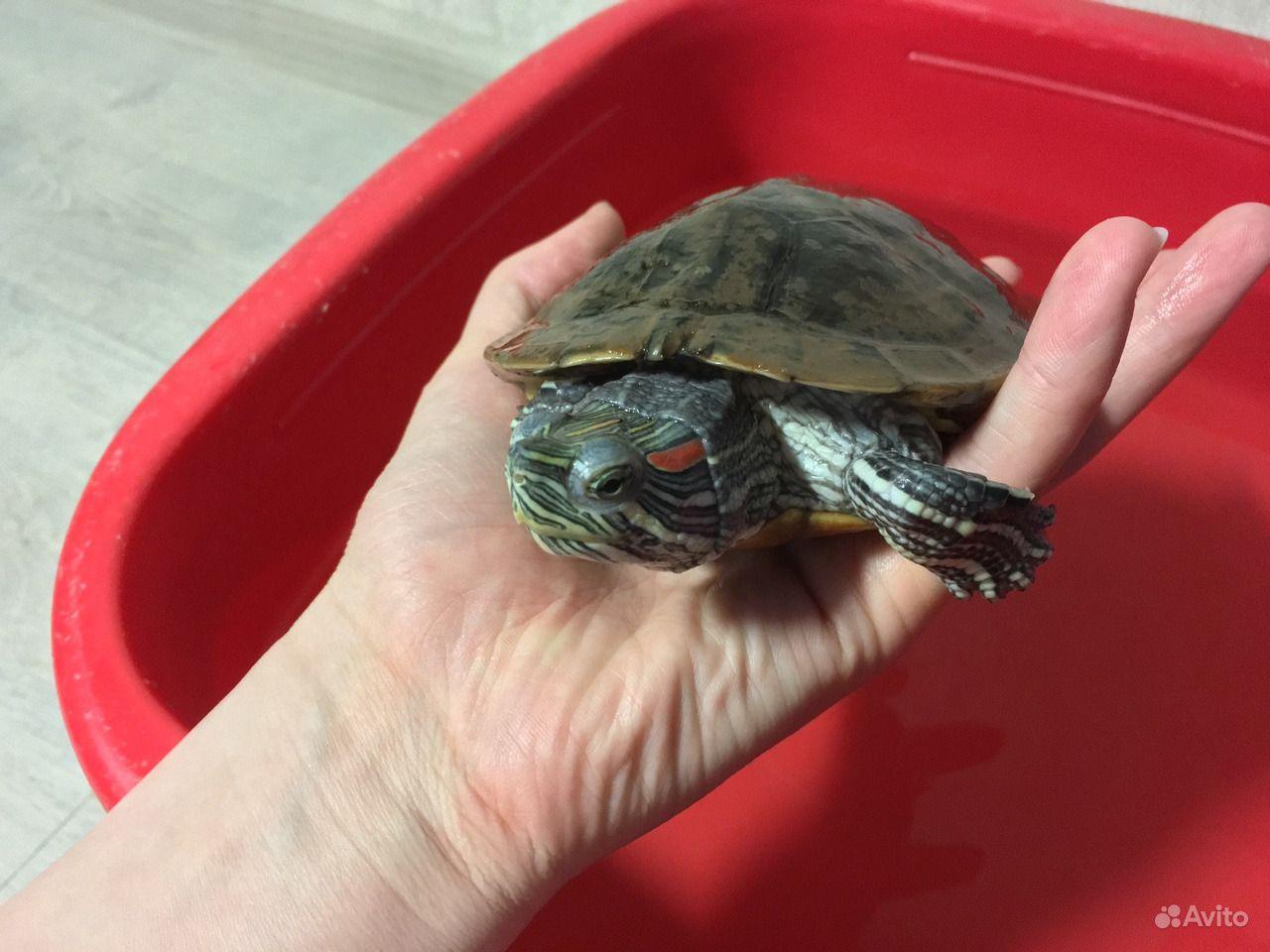 водные черепахи рекомендации по содержанию фото может