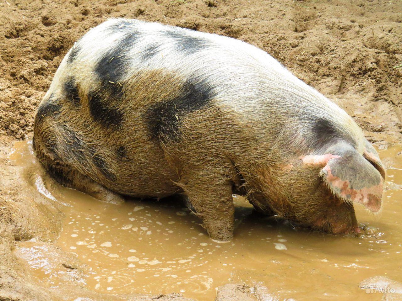 Свиноматка с хряком
