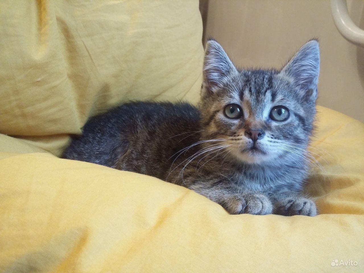 В хорошие руки котенок полосатик Тёмочка. 2,5 мес