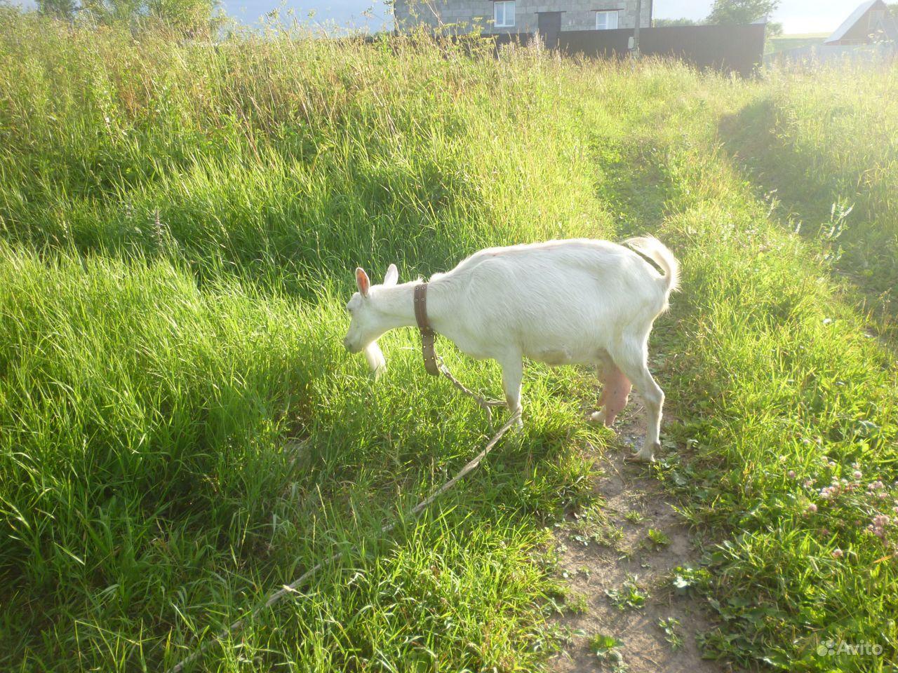 Зааненская коза с козленком