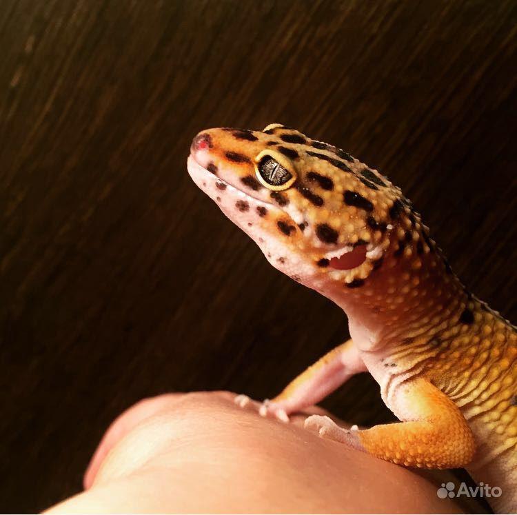 Эублефар (геккон)