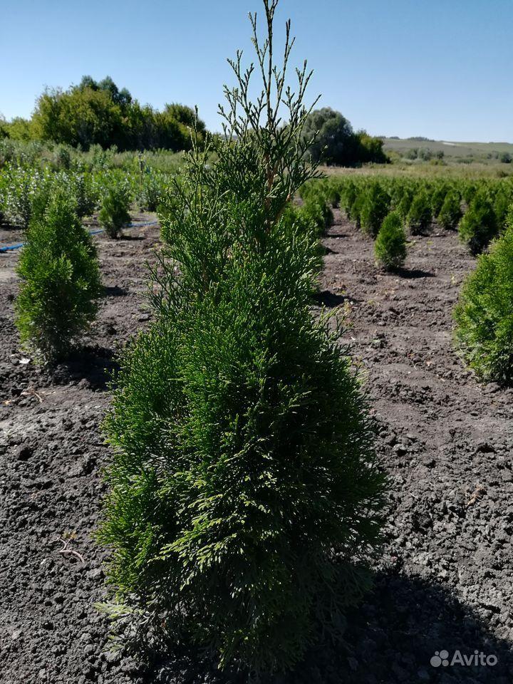 Растения в Ровеньках купить на Зозу.ру - фотография № 3