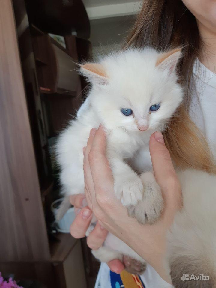 белые пушистые котята сургут фото может, они
