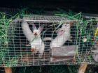 Продаю кролики мясных пород