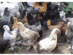 Цыплята 2.5 мес