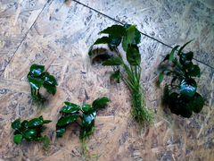Аквариумные растения и мхи