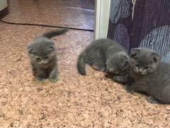 Котята очень красивые и породистые. Цена 2000