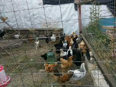 Цыплята подросшие
