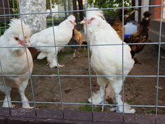 Петухи Павловские 4 мес
