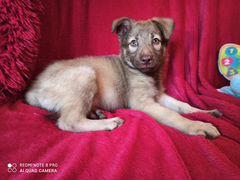 Рэм-щенок красавец