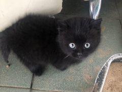 Отдаем 2 черных котят в хорошие руки