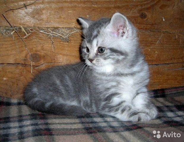 британский мраморный голубой котенок фото