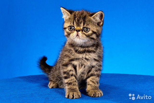 Продажа котов новосибирске