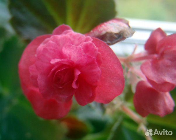 Авито комнатные цветы воронеж