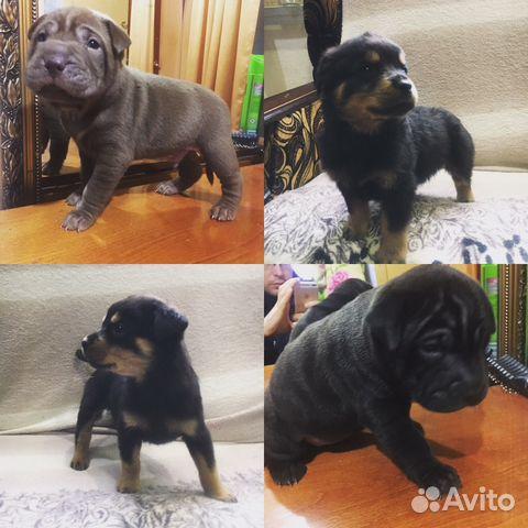 97dfce4b7790b Собаки разных пород - купить, продать или отдать в Республике Чечня ...