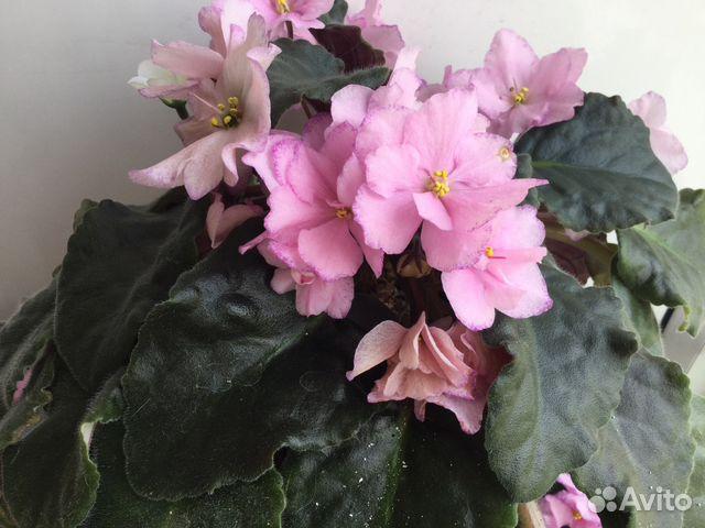 любим фиалка розовая сказка фото и описание того