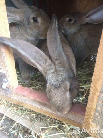 Кролики 89780705271 купить 2