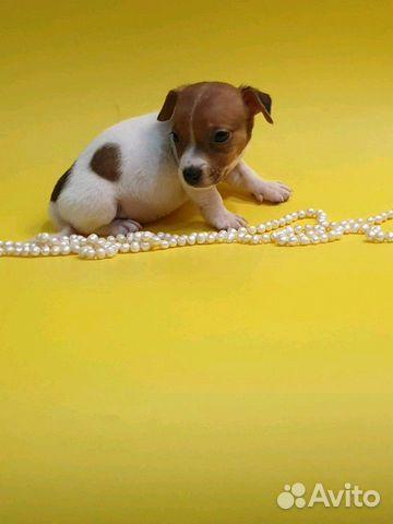 Джек Рассел терьер-щенки трехцветные и белорыжие купить на Зозу.ру - фотография № 1