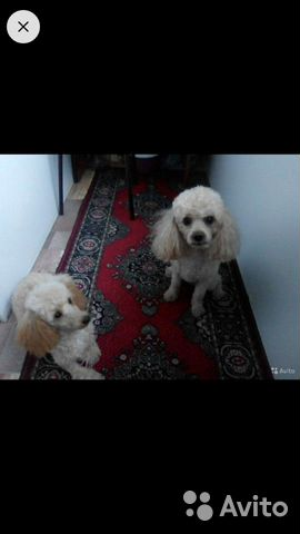 Toy poodle 89521893030 buy 2