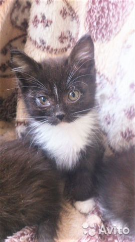 Котята ищут дом 89515756829 купить 1