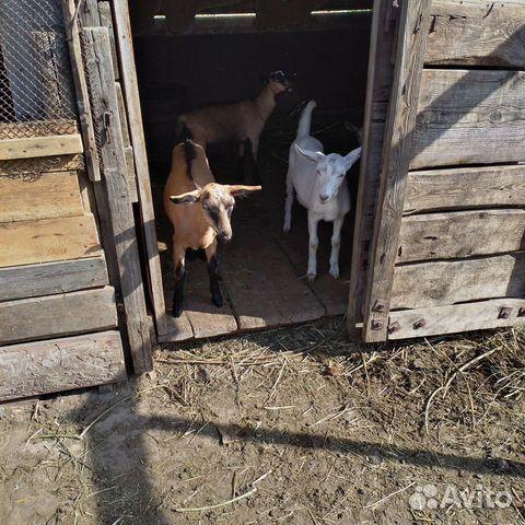 Козы двойные, козлят, козел на племя  89293993135 купить 9