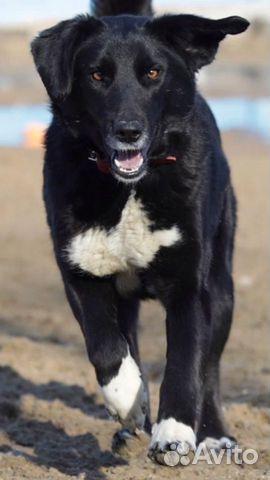 Собака лабросчастье  89242057892 купить 1
