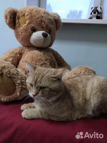 Гриша молодой шикарный рыжий кот  89173718564 купить 2