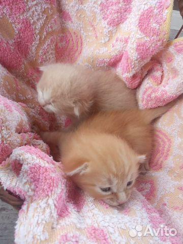 Отдам котят  89278943003 купить 4