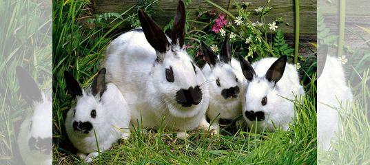 Кролики и крольчата бабочки, бургундские