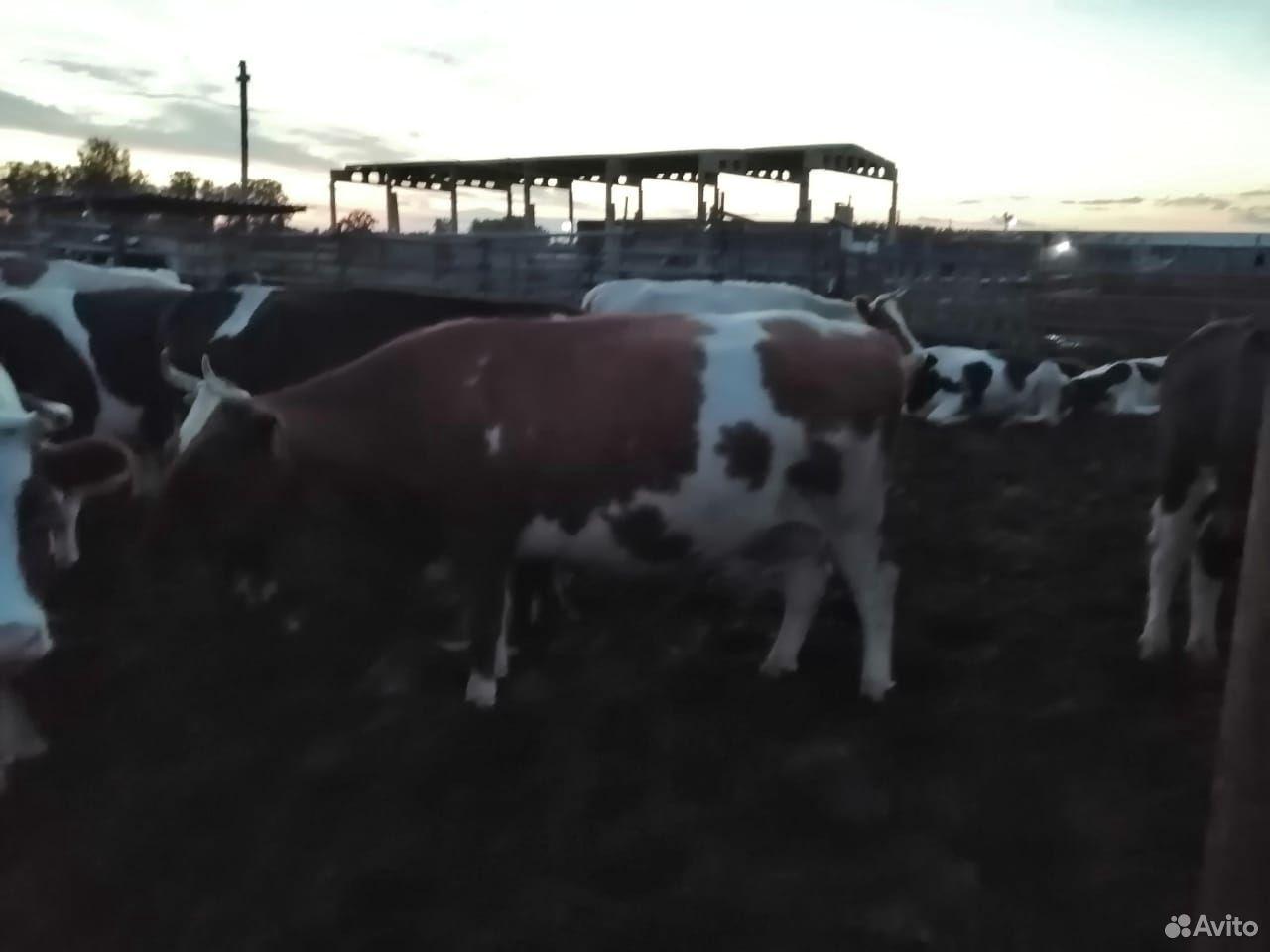 Коровы, телки  89003808099 купить 7