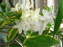 Супер цветок Стефанотис