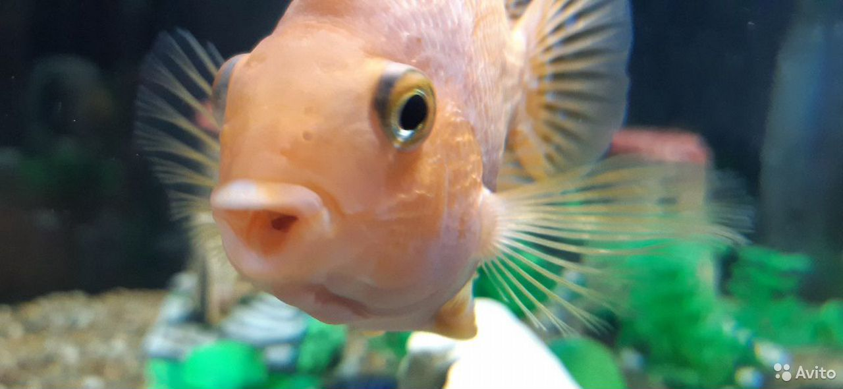 Рыба попугай  89241065400 купить 6
