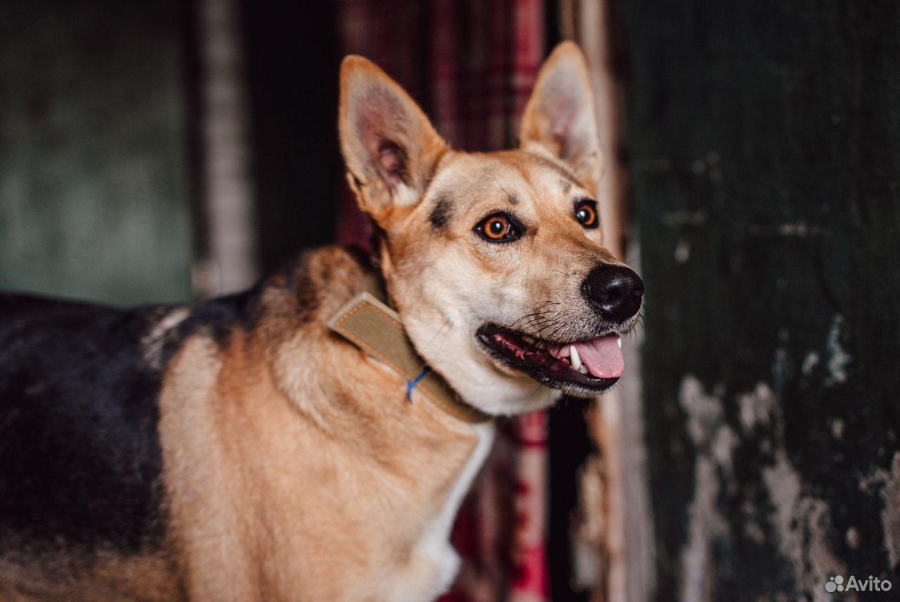 Собака Дана ищет дом  89105364195 купить 2