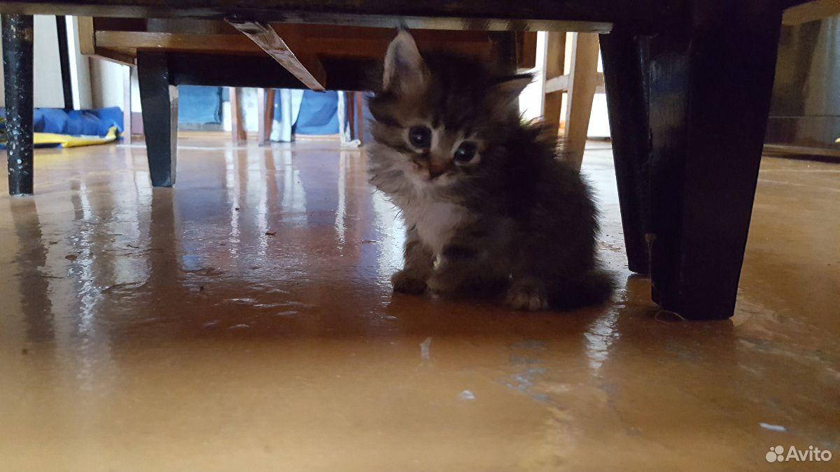 Кошка  89511720826 купить 1