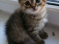 Котёнок 1.5 месяца девочка