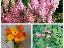 Рассада Цветы Многолетник 3