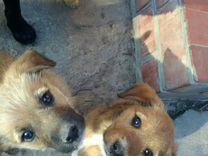 Отдам добрым людям щенков — Собаки в Геленджике