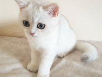 Котенок британской шиншиллы