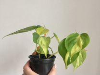 Филодендрон сорта Бразилия — Растения в Екатеринбурге