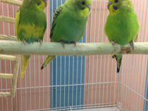 Попугайчики волнистые