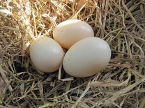 Продам яйца утиные