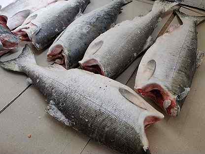 Дикий лосось 2-3 кг. 2020 год