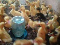 Гусята, утята, цыплята, цесарята