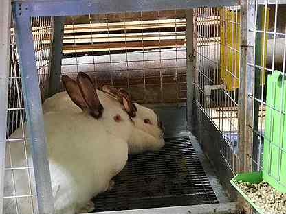Калифорнийские и венский голубой кролики