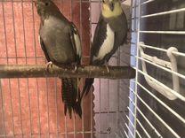 Попугаи пара Корелла